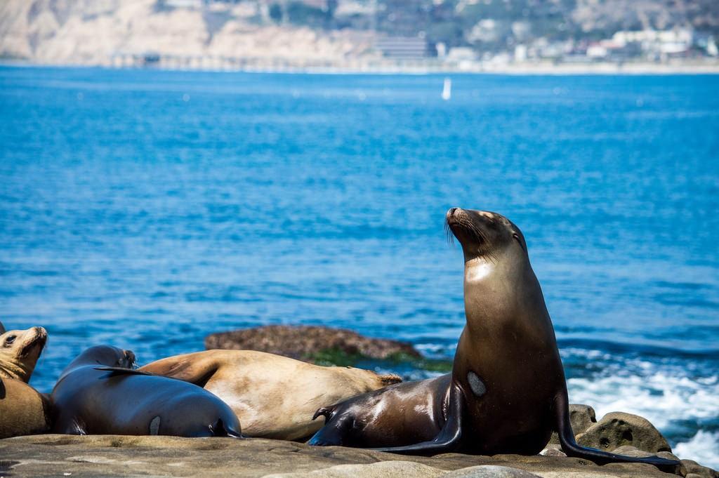Robben am Strand von La Jolla (San Diego)