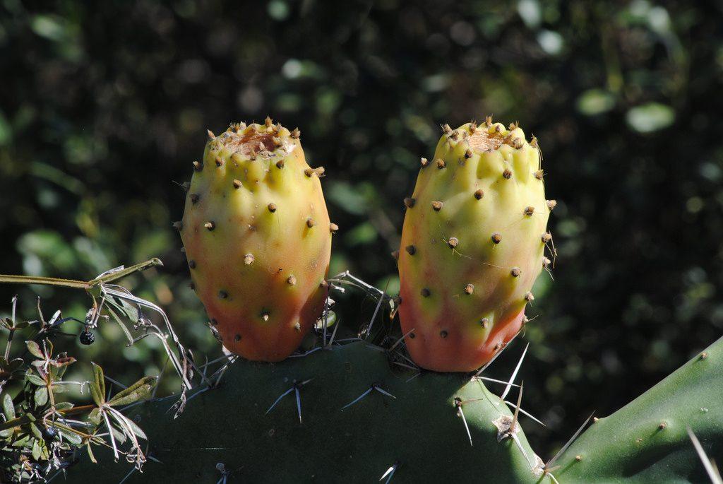 2 Kaktusfeigen