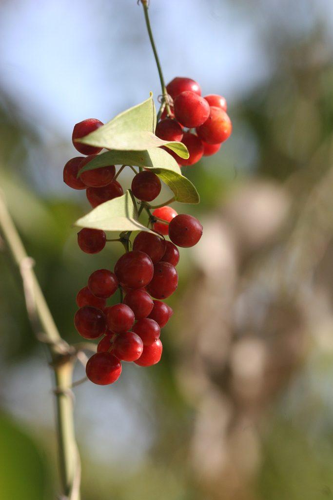 Rote Beeren der Smilax aspera (Rauhe Stechwinde)