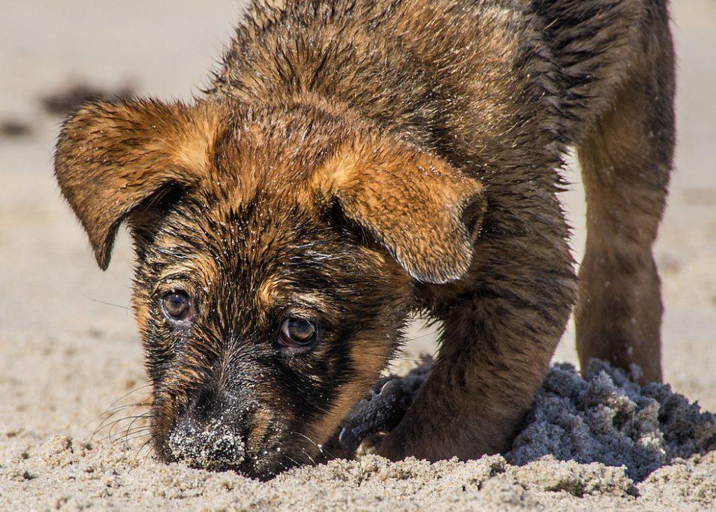Hundewelpe am Strand